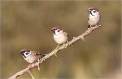 Tree sparrow trio