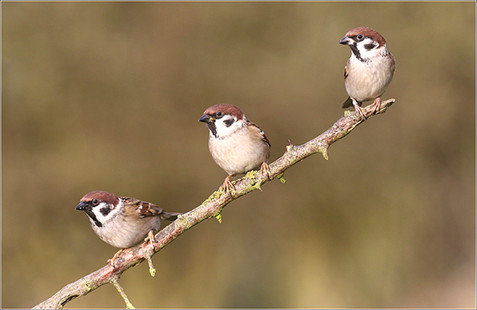 Tree sparrow trio