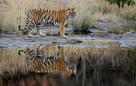 Tiger & reflection