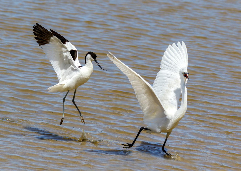 Avocet chasing Little egret