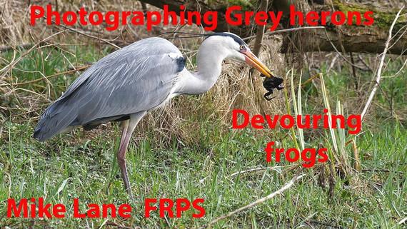 Grey heron eating frogs