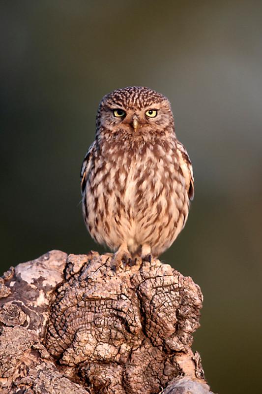 Little owl A0385