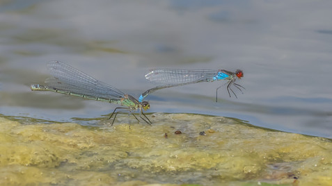 Red-eyed damselfly Paired