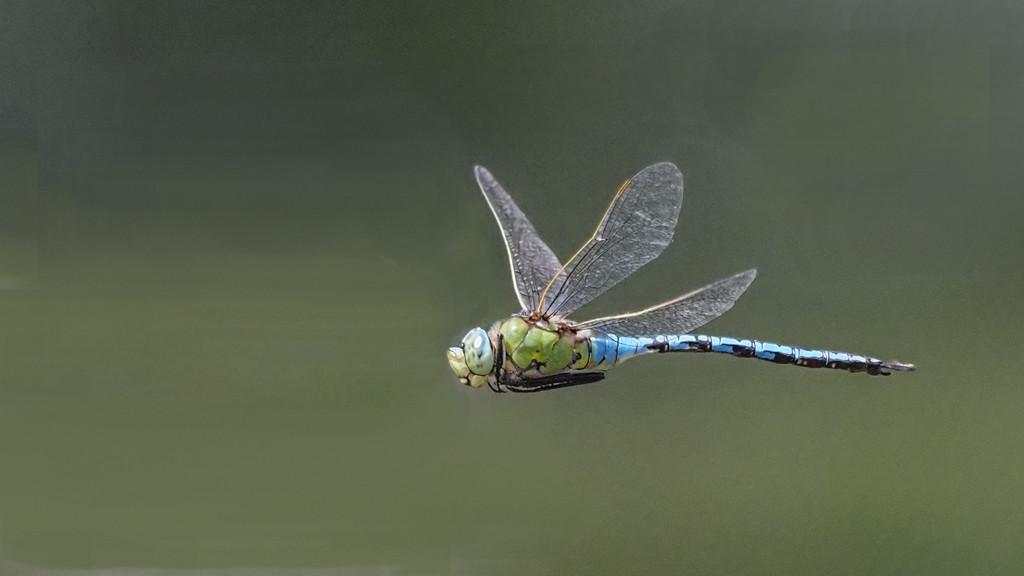 Female Emperor in flight