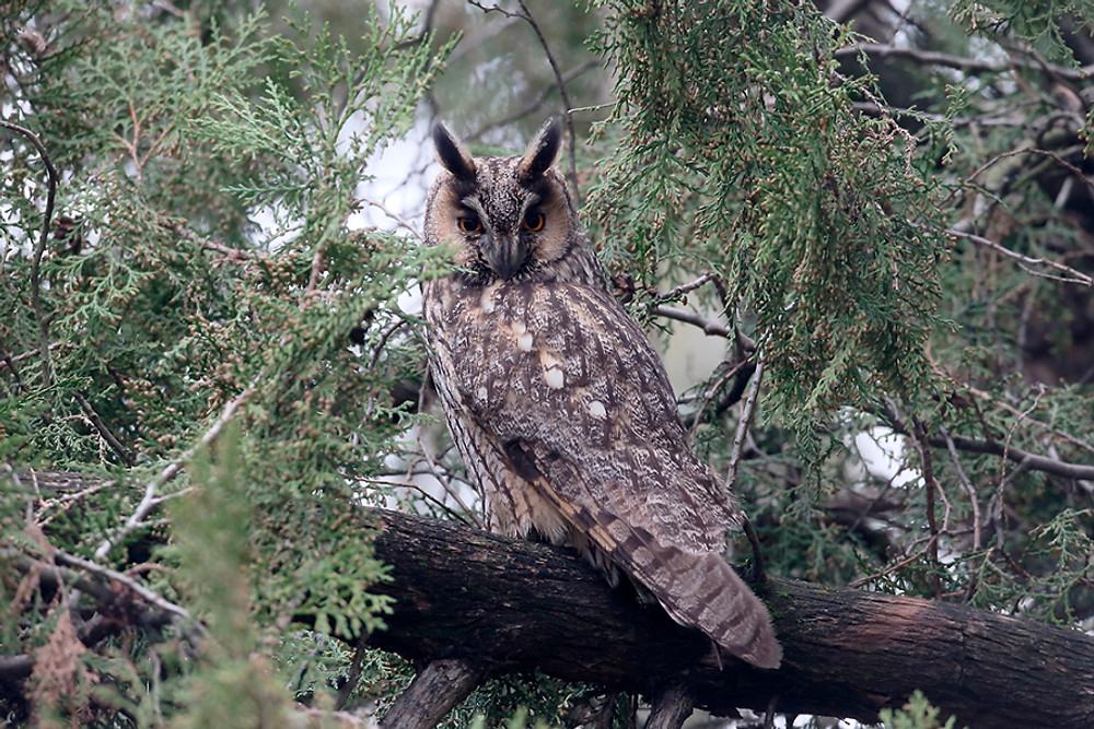 Long-eared owl, Asio otus, single bird in tree, Hungary, February 2016
