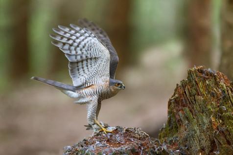 Sparrowhawk display