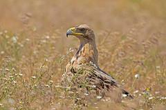 Spanish imperial eagle, Aquila adalberti