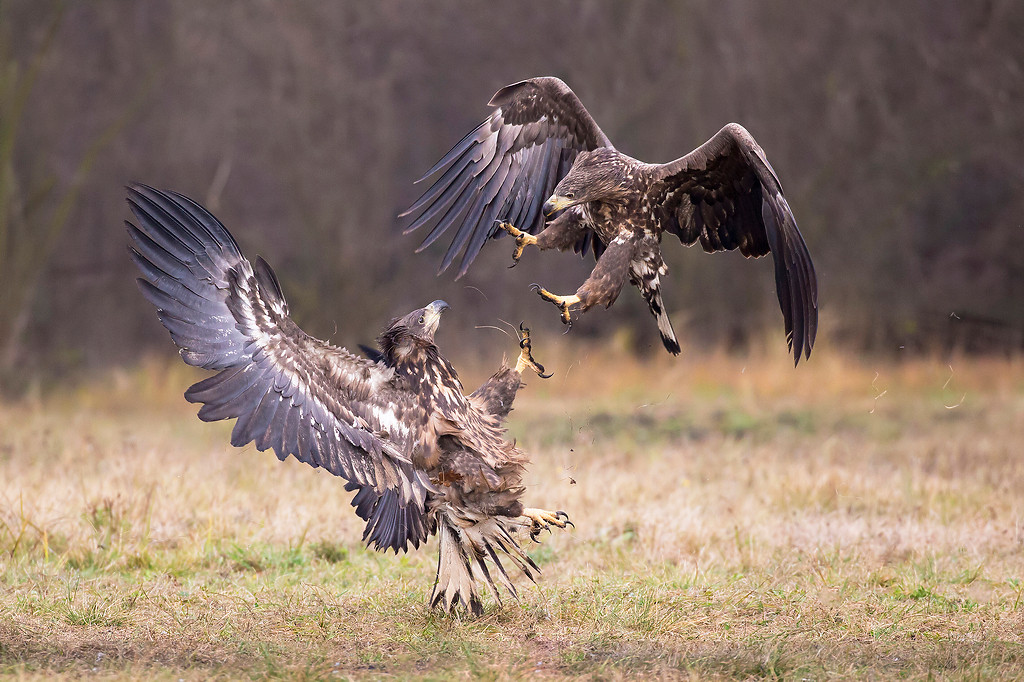 White-tailed eagles fighting