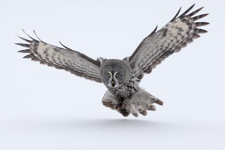 Great-grey owl 90195.jpg