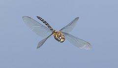 Migrant Hawker in flight