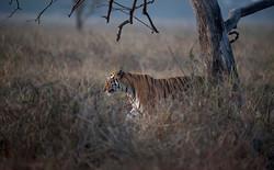 Tigress at dusk