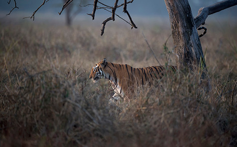Tigress at dusk