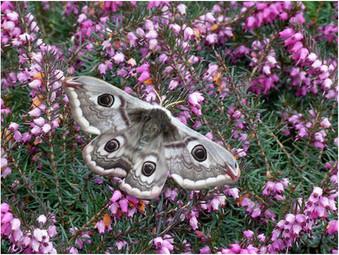 Emperor moth female upperwing