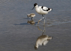 Avocet with chick