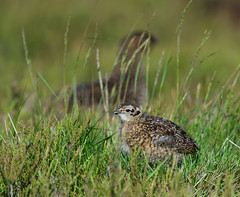 Red grouse chick