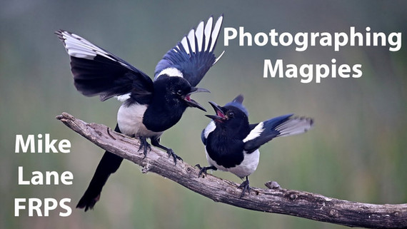 Photographing a Magpie wake