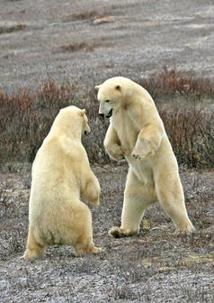 Polar bears sparring in brush