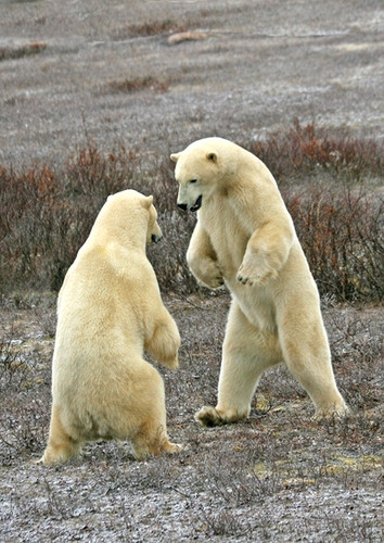 Polar bears sparring in brush
