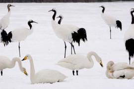 Red-crowned crane 93994.jpg