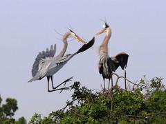 Great-blue herons