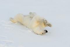 Polar bear, rolling in snow