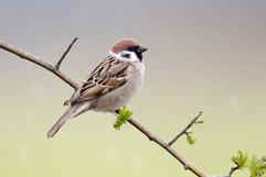 Tree sparrow C1353.jpg