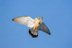 Kestrel catching Mayfly