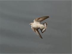 Crag Martin in flight