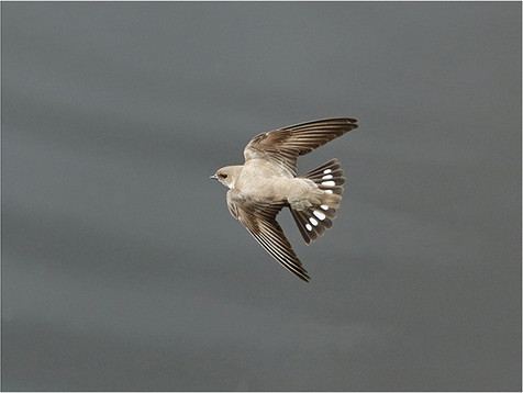 Crag Martin in flight
