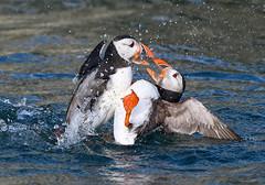 Atlantic puffins fighting