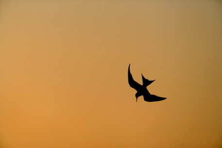 Little tern 82741.jpg