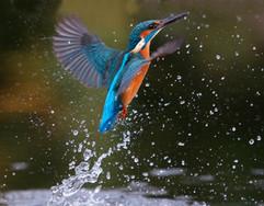 Kingfisher 94030.jpg