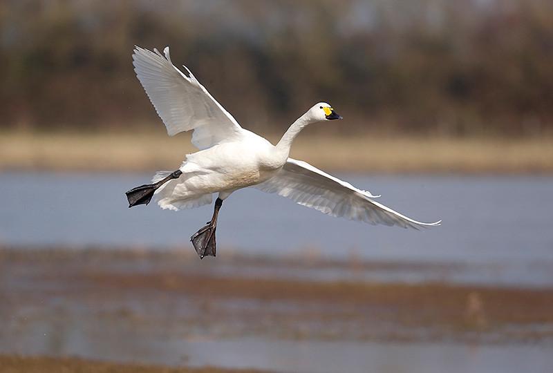 Bewicks swan D0367