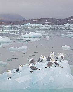 Kittiwakes on iceflow