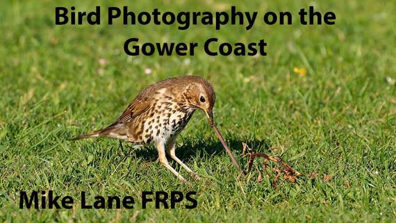 Bird Photography on the Gower Coast