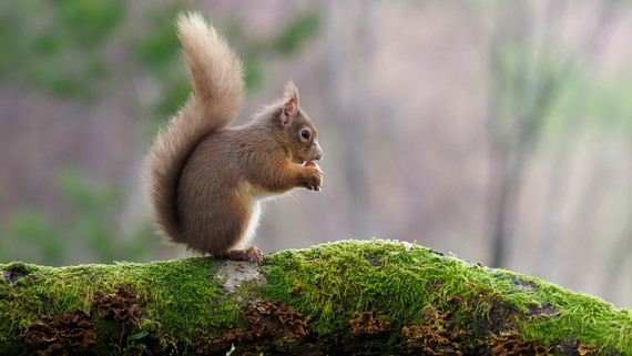 Red squirrel leaping in air