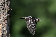 Lesser-spotted woodpecker A0212.jpg