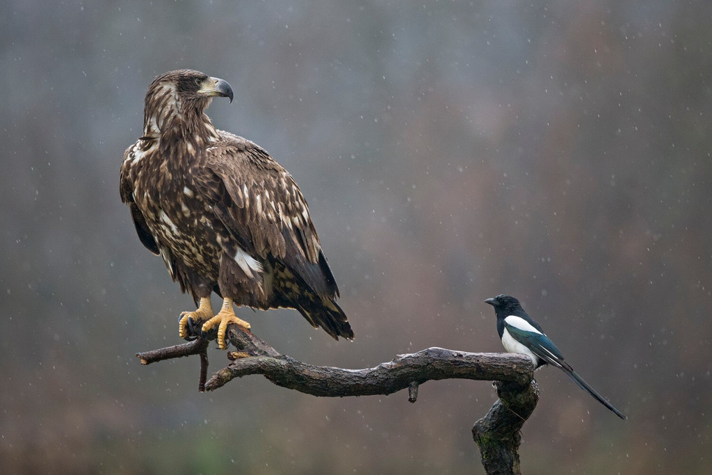 White-tailed eagle and Magpie