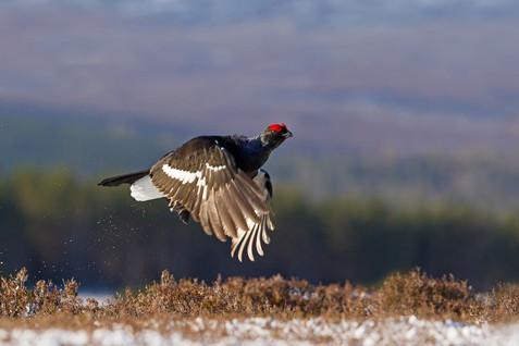 Male Black Grouse  in Flight
