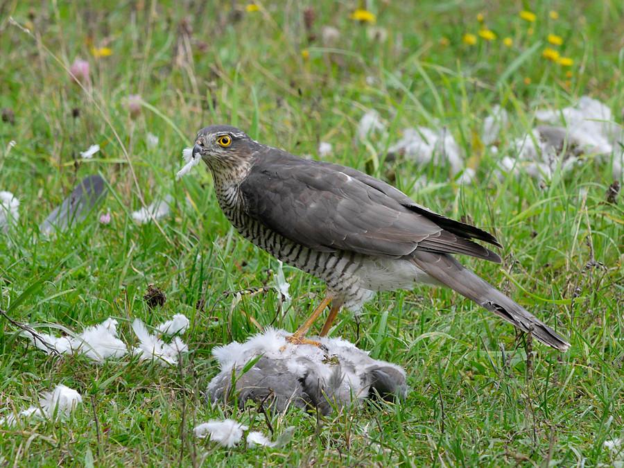 Sparrowhawk, Accipiter nisus