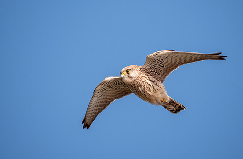 Kestrel hanging in wind