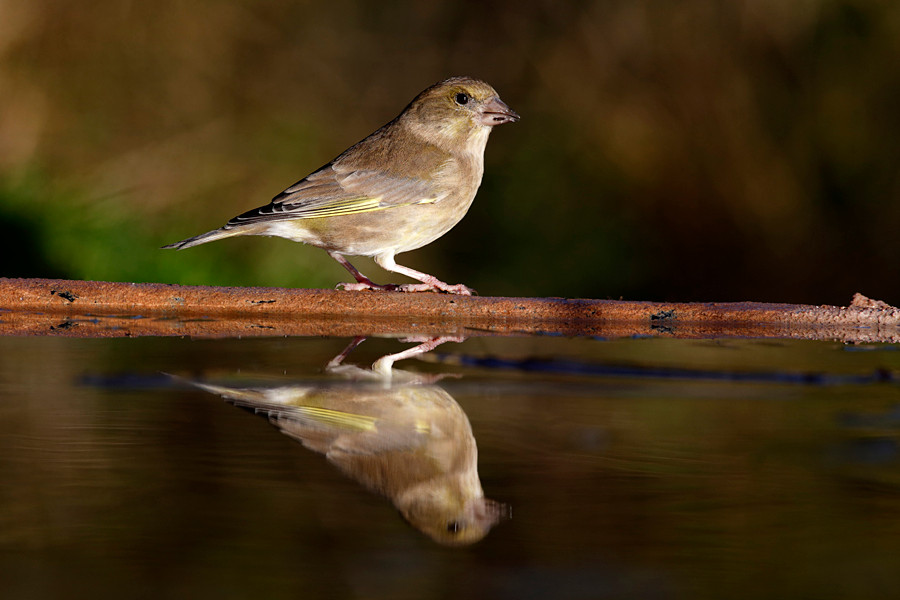 Greenfinch, Carduelis chloris,