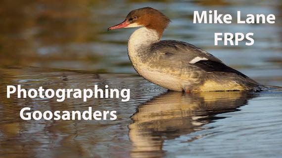 Photographing Goosanders