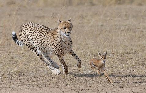 Cheetah chasing young Thomson's gazelle