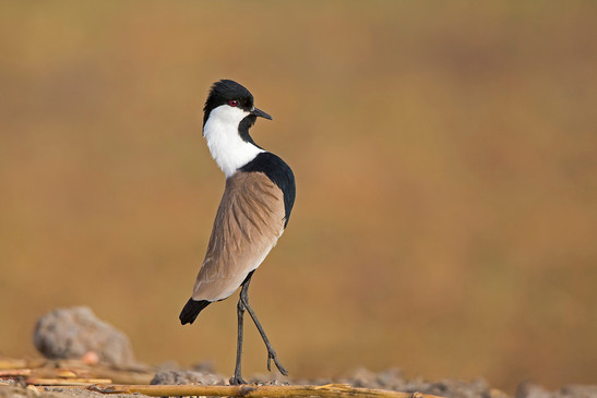 Spur-winged plover parading
