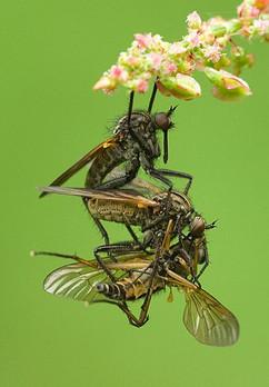 Empids paired female