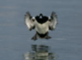 Tufted duck 64405.jpg