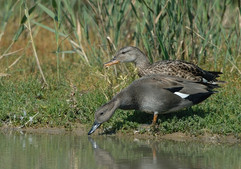 Gadwall male and female