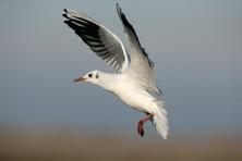 Black-headed gull 70081.jpg