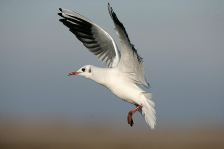 Black-headed gull 70081.jpg